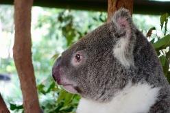 Koala - sooo süüss!