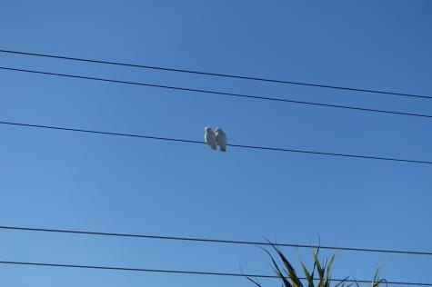 Kakadus (Galahs) vor unserem Haus